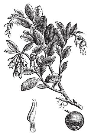 ericaceae: Cowberry, mirtilli rossi o Vaccinium vitis idaea incisione d'epoca, Old illustrazione antica incisa di un impianto di mirtillo rosso.