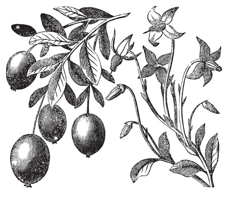 antioxidant: Cranberry vintage engraving. Old antique engraved illustration of cranberry plant.