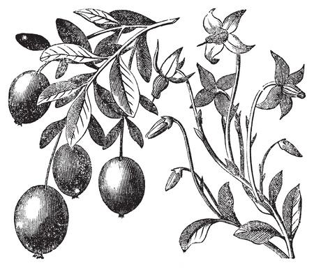 canneberges: Gravure Cranberry mill�sime. Vieux antique grav� illustration de l'usine de canneberge.