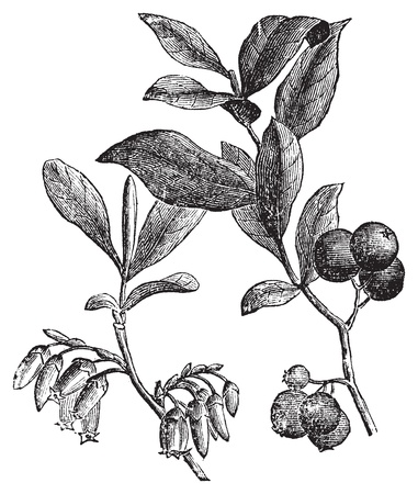 Huckleberry or Gaylussacia resinosa engravin. Old vintage engraved illustration of huckleberry plant. The huckleberry is the state fruit of Idaho. Ilustracja