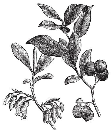 blueberries: Huckleberry or Gaylussacia resinosa engravin. Old vintage engraved illustration of huckleberry plant. The huckleberry is the state fruit of Idaho. Illustration