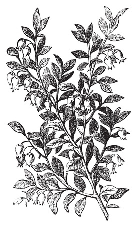 voted: Bilberry, whortleberry or Vaccinium myrtillus engraving. Old vintage illustration of bilberry plant. Vaccinium myrtillus was voted the County flower of Leeds in 2002. Illustration