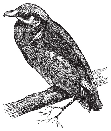 anatidae: Wood duck, Carolina duck or Aix sponsa engraving. Old antique illustration of Wood duck on a branch. Illustration