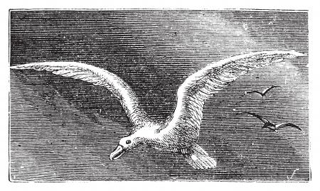 wandering: Wandering albastross, Snowy albatross, white-winged albatross or diomedea exulans engraving. Old vintage illustration of flying wandering albastross.