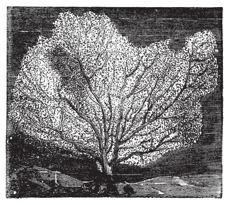 海底扇状地または海鞭。ヤギや Alcyonacea とも呼ばれます。ビンテージの彫刻。古いイラスト ベクトルで刻まれています。