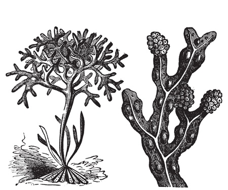 algaes: Chondrus crispus , irish moss or Fucus vesiculosus, bladderwrack engraving, old antique illustration of diffrents algaes.  Illustration