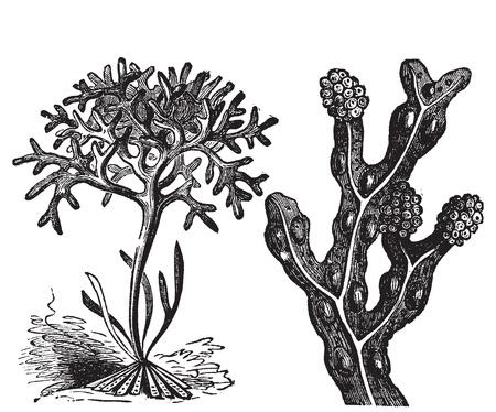 algen: Chondrus crispus, ierse mos of Fucus vesiculosus, blaaswier graveren, oude antieke illustratie van diffrents algen.