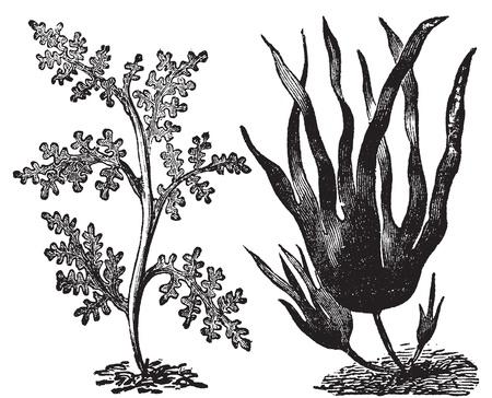 algen: Peper dulse, rode algen of Laurencia pinnatifida (links). Oarweed of Laminaria digitata (rechts). Vintage engraving. Illustratie van twee soorten algen, rode en bruine algen.