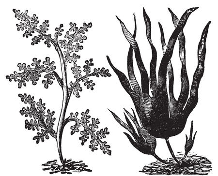 algaes: Pepper dulse, red algae or Laurencia pinnatifida (left). Oarweed or Laminaria digitata (right). Vintage engraving. Illustration of two types of algae, red and brown algae.