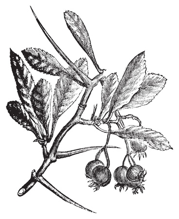 crataegus: American Hawthorn or Crataegus crus-galli vintage engraving. Old engraved illustration. Also called cockspur hawthorn and cockspur thorn.