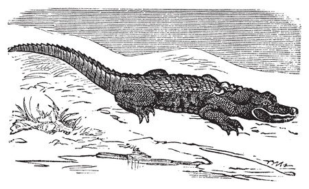 American Alligator engraving, or Alligator Mississippiensis. Old engraved illustration of an alligator laying near water. Vector
