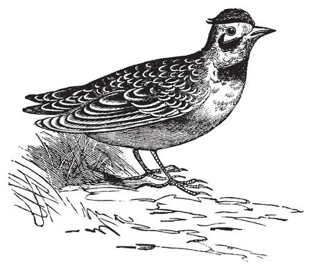 horned: Horned lark or Eremophila alpcstris vintage engraving. Old engraved illustration of a horned lark bird in his environment.