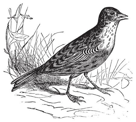 arvensis: Skylark or Alauda arvensis vintage engraving. Old engraved illustration of a skylark bird in his environment.