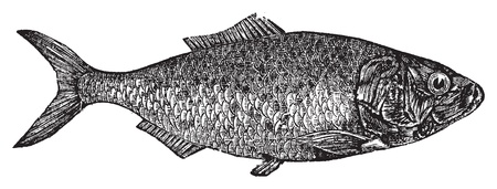 herring: Shad, river herring  or Alosa menhaden vintage engraving.. Old engraved illustration of a shad fish, in vector, isolated against a white background.