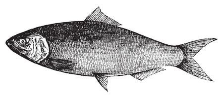 미국 청어, 대서양 청어, Alosa의 praestabilis 또는 alosa sapidissima 빈티지 조각. 오래 된 흰색 배경에 대해 격리, 벡터에서, 미국의 청어 물고기의 그림을 새