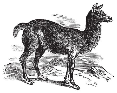 llama: Alpaca o Vicugna incisione Pacos vintage. Old illustrazione incisa di un uccello un'allodola cornuta nel suo ambiente. Vettoriali