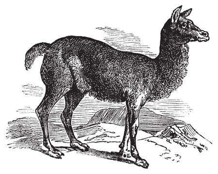 llama: Alpaca or Vicugna pacos vintage engraving. Old engraved illustration of a horned lark bird in his environment.