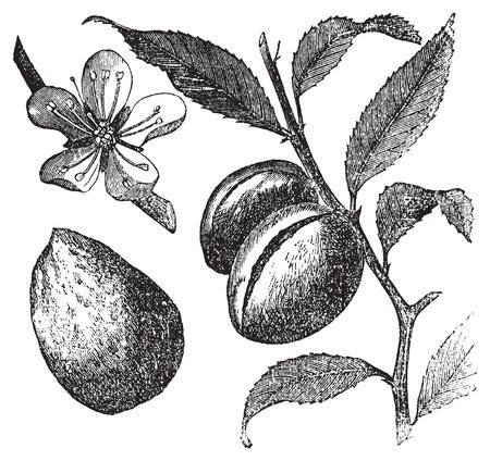 Il Mandorlo o incisione prunus dulcis vintage. Frutta, fiori, foglie e mandorla. Old illustrazione incisa di un mandorlo, in formato vettoriale, isolato su uno sfondo bianco. Frutta, fiori, foglie e mandorla primo piano.