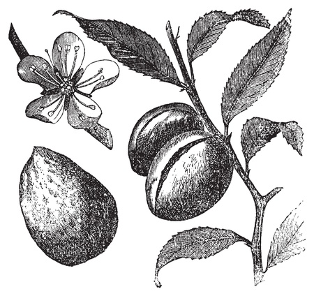 almond: The Almond tree or prunus dulcis vintage engraving. Fruit, flower, leaf and almond. Old engraved illustration of an Almond tree, in vector, isolated against a white background. Fruit, flower, leaf and almond closeup.