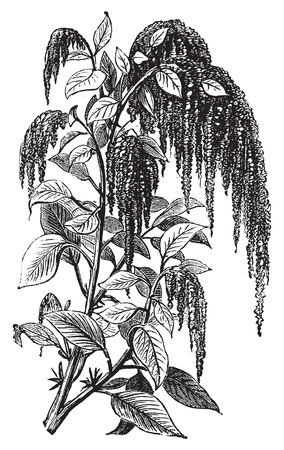 Foxtail amaranth, love-lies-bleeding, pendant amaranth, tassel flower, velvet flower, quelite or Amaranthus caudatus vintage engraving. Vector, isolated cut-out. Illustration
