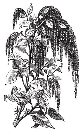 amaranth: Foxtail amaranth, love-lies-bleeding, pendant amaranth, tassel flower, velvet flower, quelite or Amaranthus caudatus vintage engraving. Vector, isolated cut-out. Illustration