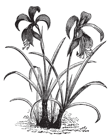 Amaryllis formosissima, belladonna lily or naked lady flower vintage engraving. Two amaryllis flowers blooming. Vector illustration. Stock Vector - 13770667