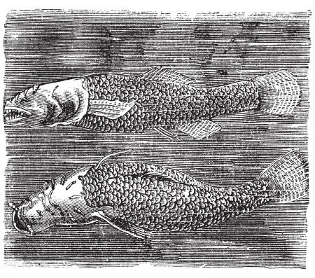 vulnerable: Northern cavefish or  Amblyopsis spelaea vintage engraving. Bottom and side view of the cavefish in dark water. Vector illustration.