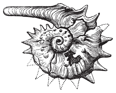 Ammonite fossil vintage engraving. Extinct group of marine invertebrate, similar to the Nautilius. Vector illustration, isolated cut-out. Vector
