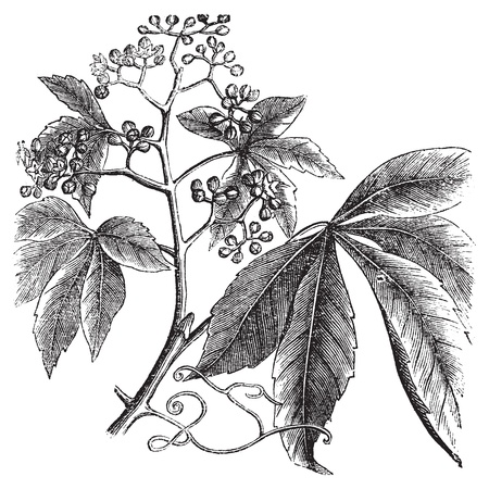 Virginia Creeper, Ampelopsis or  Parthenocissus Quinquefolia, American Ivy, Woodbine, False Grape, Five-leaved ivy or five-finger vintage engraving. Vector, isolated cut-out. Ilustração