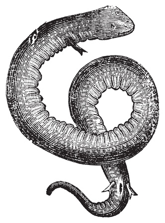 congo: Amphiuma, conger eels or congo snake vintage engraving.. Old engraved illustration of an amphiuma or aquatic salamander, in vector, isolated against a white background.