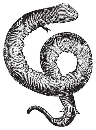 Amphiuma, Meeraale oder Kongo Schlange Weinlesestich .. Alt eingraviert Darstellung eines Amphiuma oder aquatische Salamander, in Vektor, vor einem weißen Hintergrund isoliert. Standard-Bild - 13770401