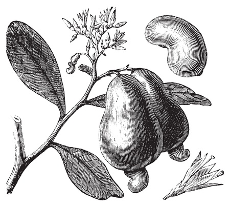 cashew: Cashew or Anacardium occidentale tree, apple and nuts vintage engraving. Old engraved illustration of caju tree, in vector, isolated against a white background.