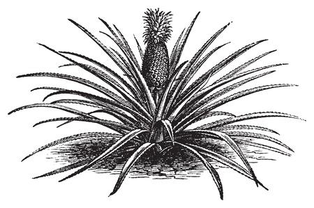 Ananas, ananassa sativa of ananas comosus oude vintage engraving. Volledige ananas plant met stengels, in vector, gegraveerde illustratie. Stock Illustratie