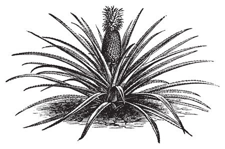 Pineapple, ananassa sativa or ananas comosus old vintage engraving. Full pineapple plant with stems, in vector, engraved illustration. Ilustração