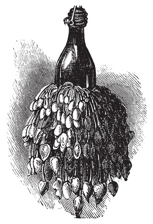 Barnacles on a bottle ( anatifa anserifera) old vintage engraving. Vector engraved illustration created in 1890.