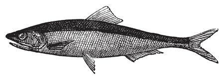 sardine: Europea acciughe o Engraulis encrasicholus vecchia incisione vintage. Acciuga pesce inciso illustrazione vettoriale, isolato su bianco.