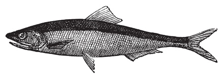 sardinas: Europea anchoa o Engraulis encrasicholus vendimia viejo grabado. Anchoveta grabado ilustración vectorial, aislado en blanco.