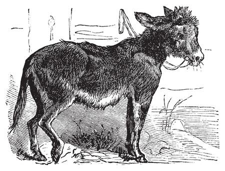 jack ass: Domesticated asino, asino, vulgaris o Equus asinus asinus africanus vecchia incisione vintage. Donkey mangiare erba, illustrazione incisa nel vettore.