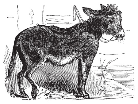 Domesticated donkey, ass, asinus vulgaris or Equus africanus asinus old vintage engraving. Donkey eating grass, engraved illustration in vector. Vector