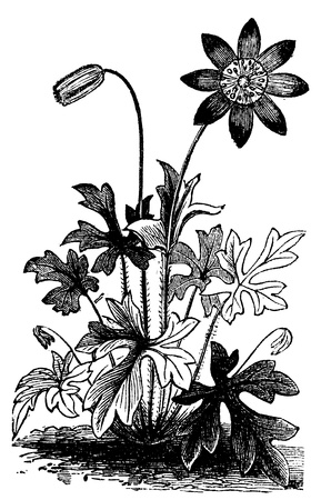 Anemone hortensis or Fior di Stella flower vintage engraving. Vector engraved illustration from 1890. Ilustração