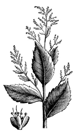 stinking: Chenopodium anthelminticum or Wormseed Goosefoot vermifuge plant and flower vintage engraving. Old engraved illustration of a an anserine chenopodium anthelminticum vermigue plant, isolated on white. Illustration
