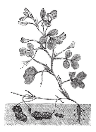 Peanut or groundnut or Arachis hypogea vintage engraving. Old engraved illustration of a peanut plant showing legumes underground.