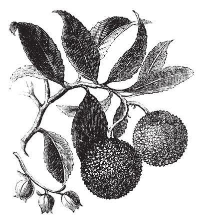 healthful: El madro�o o el Madro�o o de Arbutus unedo, el grabado de la vendimia. Ilustraci�n del Antiguo grabado de una planta de �rbol de fresa que muestra las frutas (arriba) y flores (abajo).