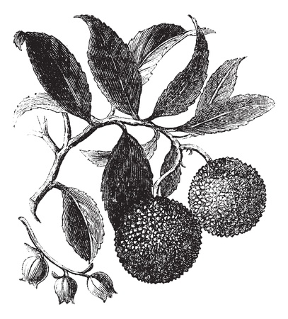 Strawberry Tree or Madrono or Arbutus unedo, vintage engraving. Old engraved illustration of a Strawberry Tree plant showing fruits (top) and flowers (bottom). Vector