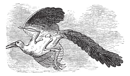 earliest: Archaeopteryx, Original bird or First bird, Urvogel, Archaios, Pteryx. Vintage engraving. Old engraved illustration of a Archaeopteryx considered as the earliest and most primitive bird.