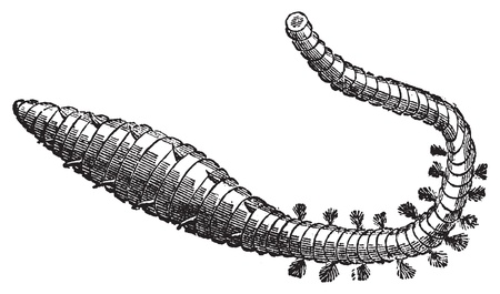 coiled: Lugworm, sandworm or arenicola marina old engraving. Old engraved illustration of a sand worm.