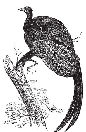 pheasant: Argus giganteus or Great pheasant, common specie of pheasant old engraving. Old engraved illustration, in vector, of a Great argus bird.