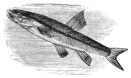 Blacknosed dace, rhinichthys atratulus or argyreus atronasus old engraving. Old engraved illustration, in vector, of a blacknosed dace fish in water. Stock Vector - 13770868