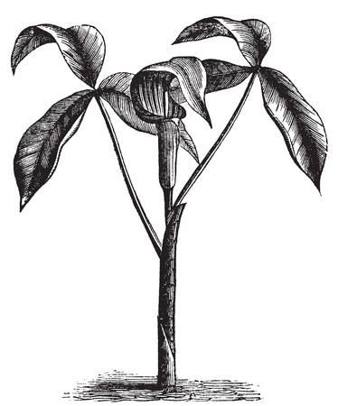 bog: Arisaema triphyllum,  Jack-in-the-Pulpit, Bog onion, Brown dragon, Indian turnip, Wake robin or Wild turnip old engraving. Old engraved illustration, in vector, of a arisaema triphyllum plant