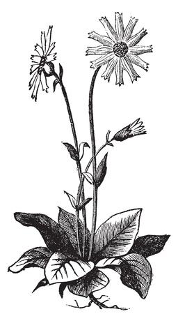 Arnica montana bloem, aslo bekend als wolf's Bane, luipaard's Bane, berg tabak en berg arnica oude gravure. Arnica plant geïsoleerd tegen een witte achtergrond. Vector, gegraveerde illustratie. Stock Illustratie